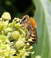 Colletes